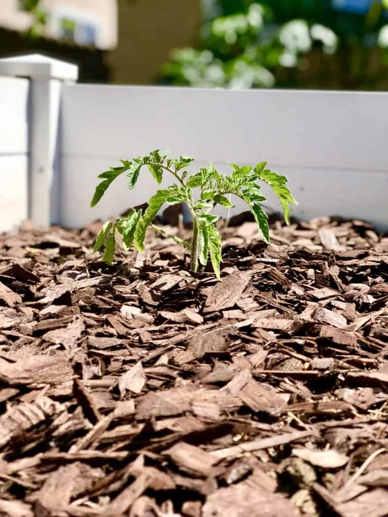 Mulch Your Tomatoes