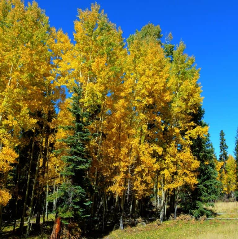 Golden aspens in the white mountains of arizona by flickr TLPOSCHARSKY
