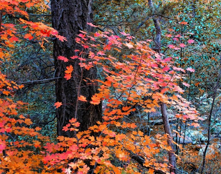 fall colors in arizona, West Fork Trail at Oak Creek Canyon by flickr TLPOSCHARSKY