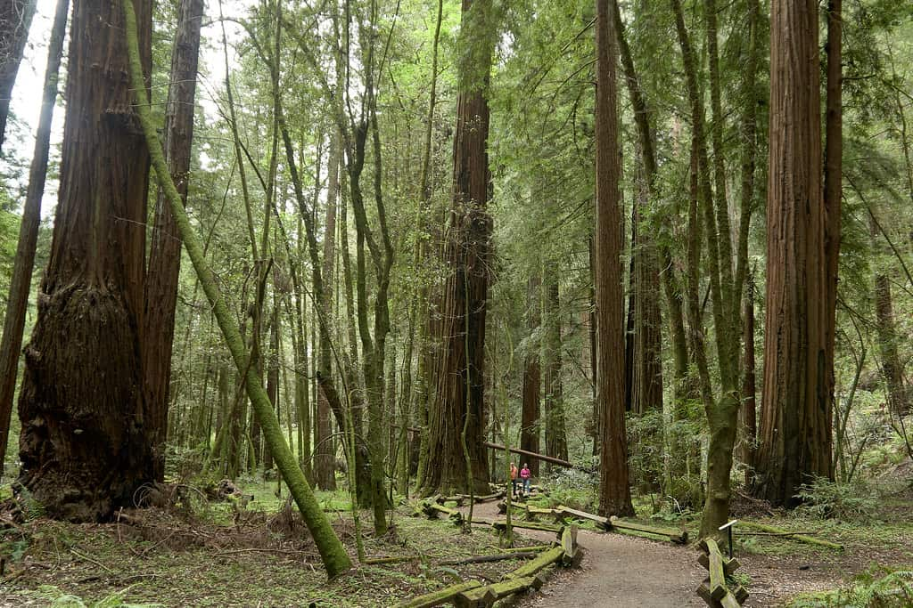 armstrong redwoods photo