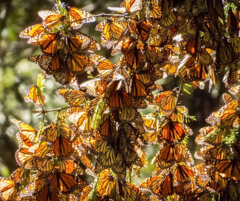 Monarch butterflies in Pacific Grove near Monterey