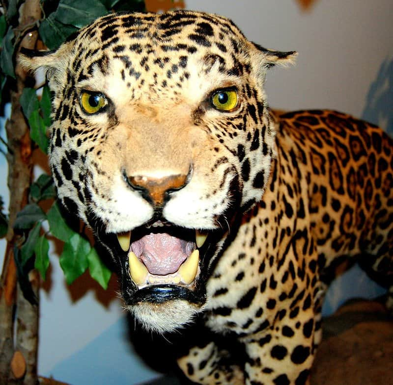 Get Face to Face With a Leopard at the International Wildlife Museum in Tucson