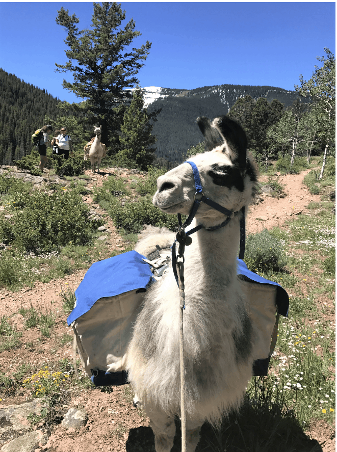 Hiking with a llama is one of my favorite things to do in Vail in summer