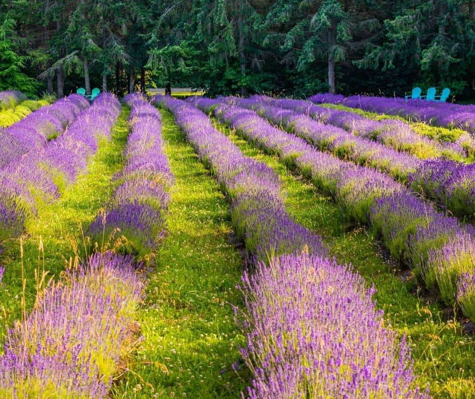 Lavender Fields Sequim