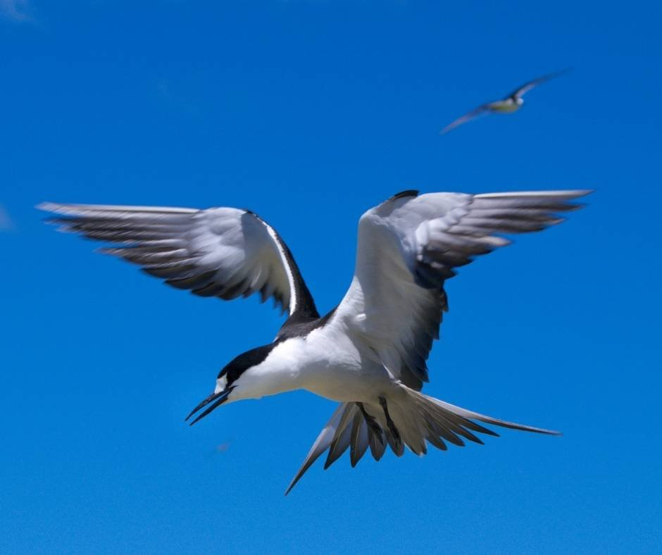 See a nesting Sooty Tern on your Dry Tortugas day trip from Key West