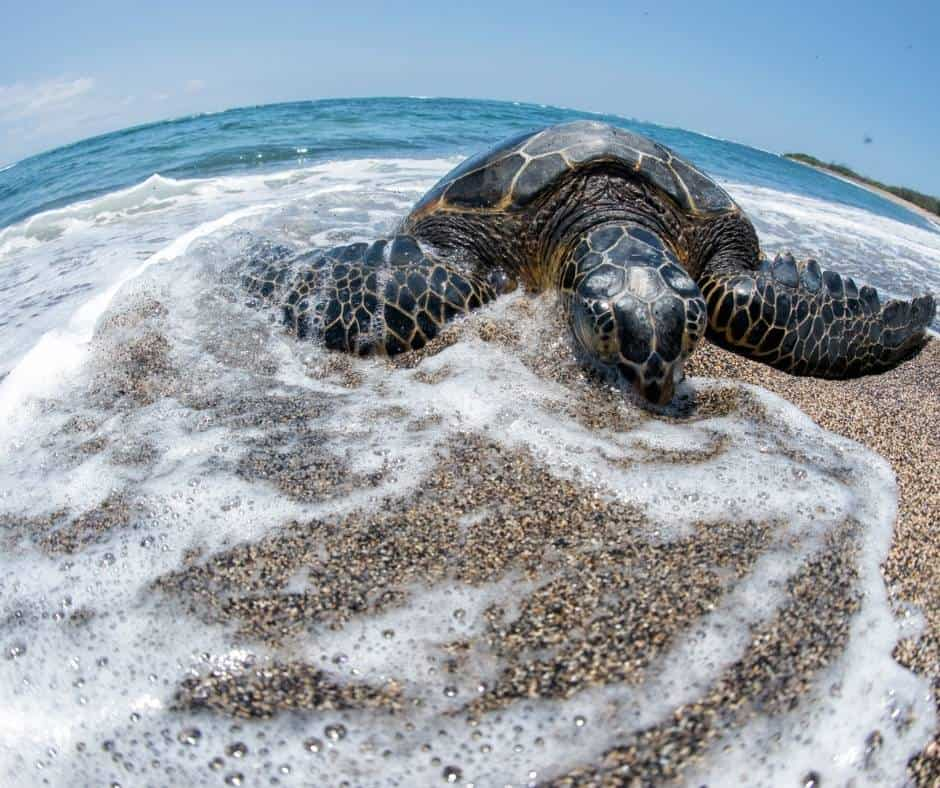 Sea Turtle at Kahaluu Bay
