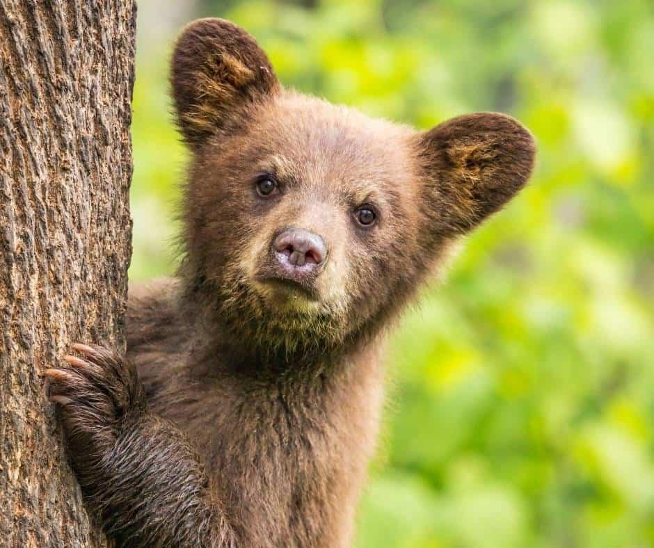 You can bottle feed baby bears in Idaho