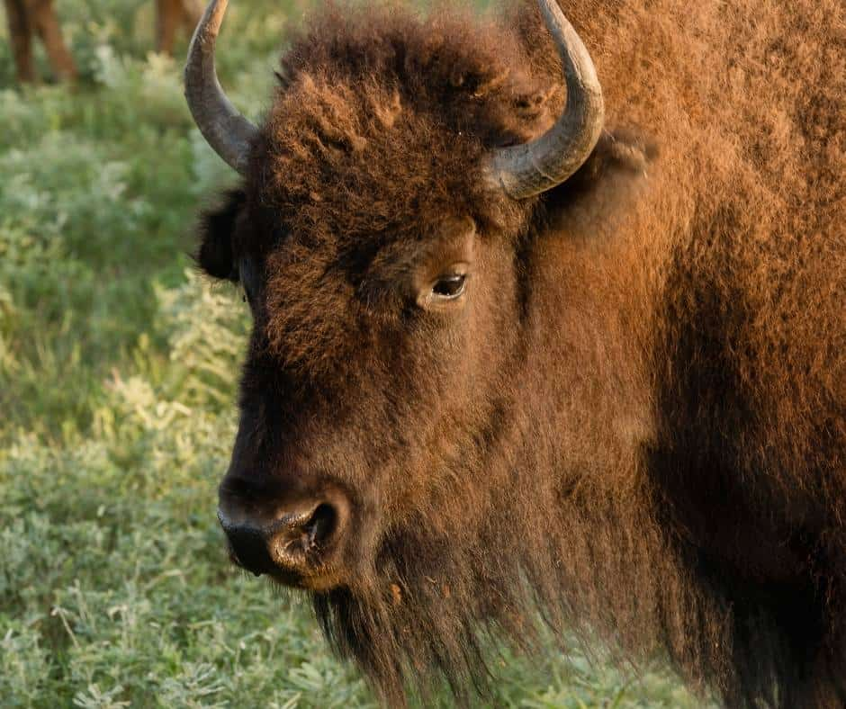 things to do in Kansas city with kids include feeding bison at Lake Jocomo