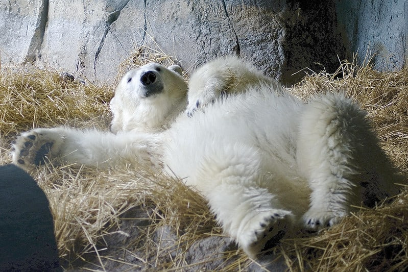 Polar bear at the Kansas City Zoo