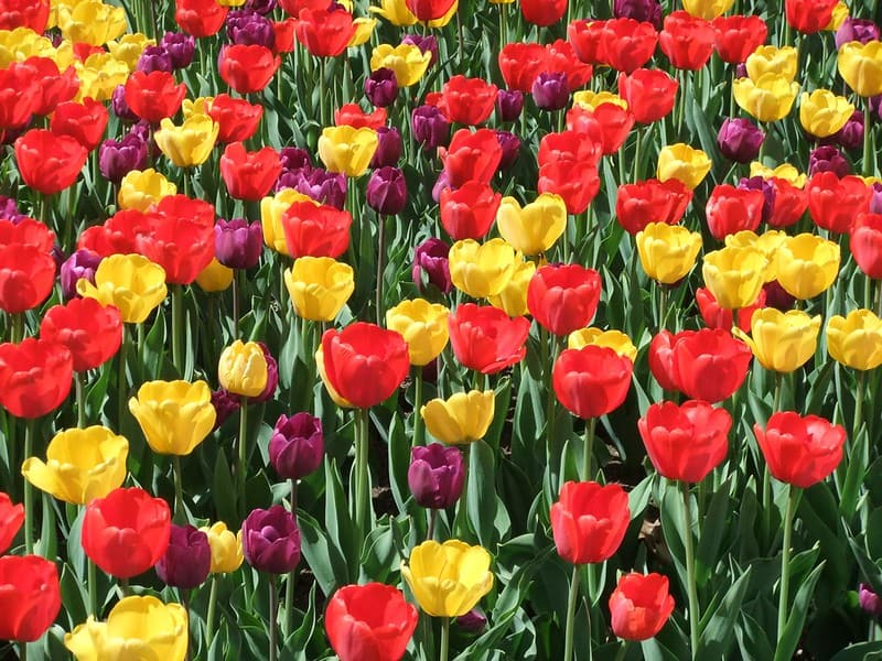 The Texas Tulip farm is one of our favorite day trips from Dallas, Texas