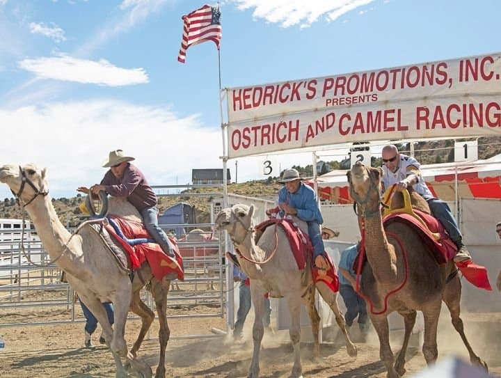 Virginia City Ostrich and Camel Racing