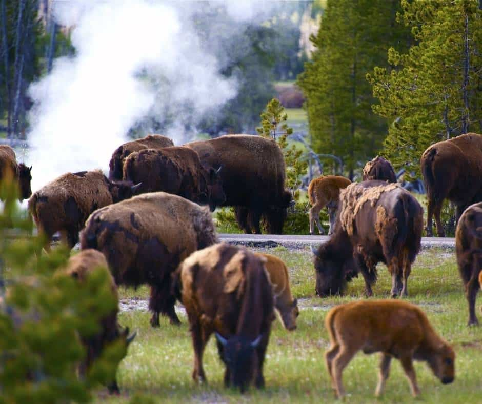 Bison near a geyser at Yellowstone National Park