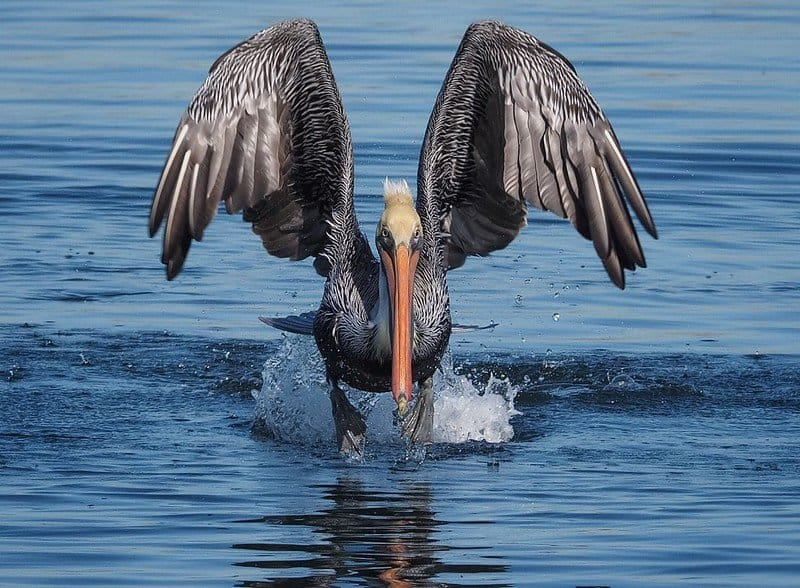 Brown Pelican at Bolsa Chica Ecological Reserve in Huntington Beach