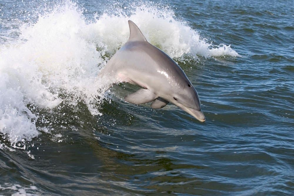 Dolphin in Wolf Bay at Orange Beach Alabama