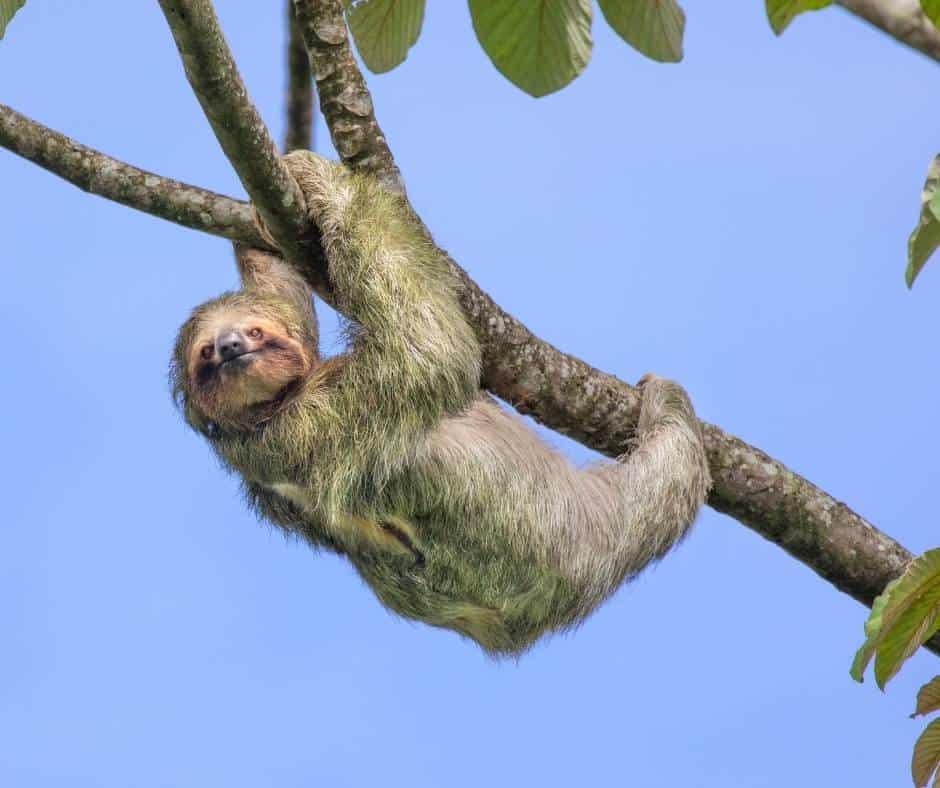 Sloth spotting in Costa Rica