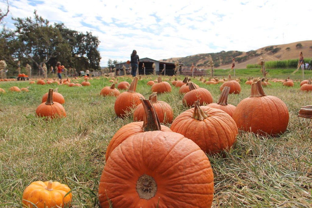 12 Terrific Pumpkin Patches in the Bay Area 3