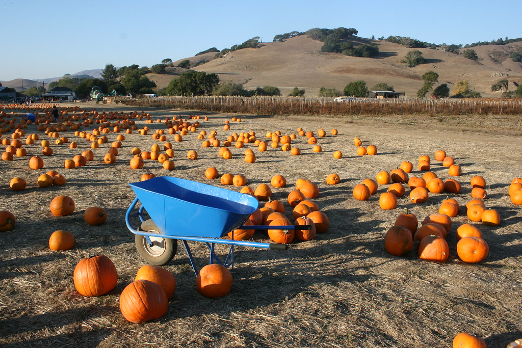 One of the best Pumpkin patches in the Bay Area is Nicasio Valley Pumpkin Patch