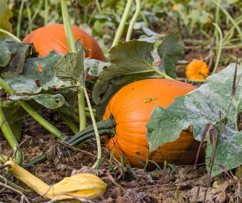 Pick pumpkins from the vine at Bob's Pumpkin Farm in Half Moon Bay