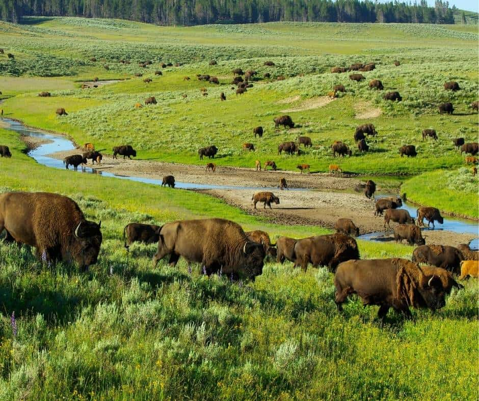 Over 25 Amazing Things to do in Yellowstone with Kids 2