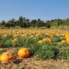 12 Best Pumpkin Patches in San Diego