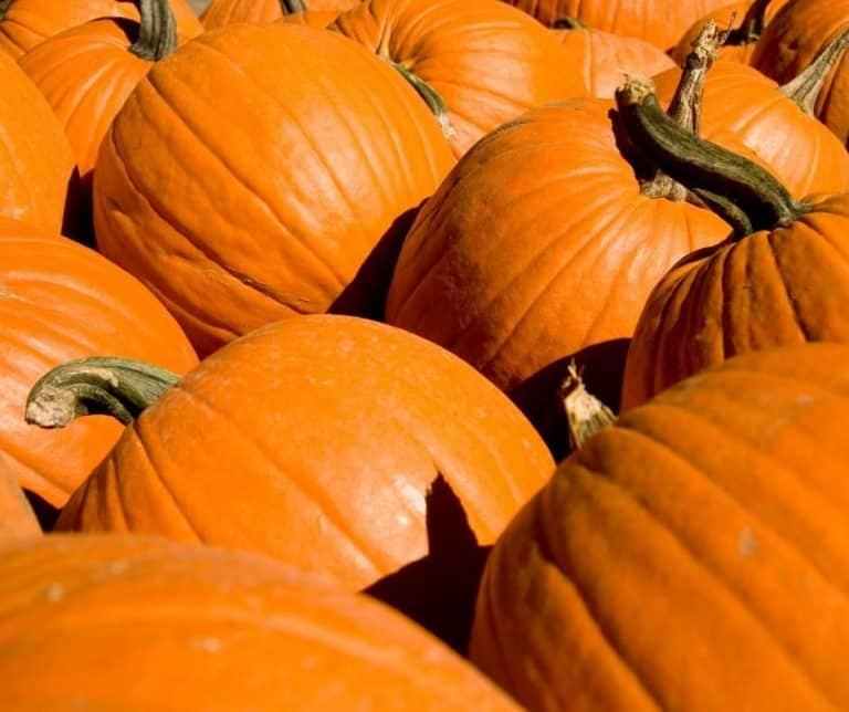 Pumpkins at a San Diego Pumpkin Patch