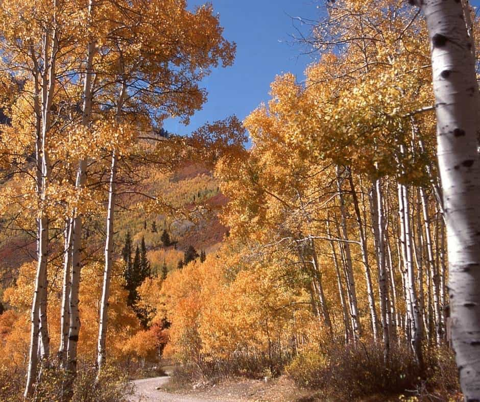 Aspen Grove Near Timpangos Cave in Utah