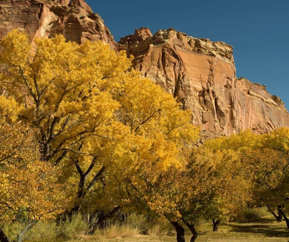 Orchards in Capitol Reef National Park showing off their Utah fall colors.