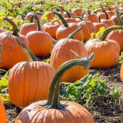 10 Terrific Pumpkin Patches in Chicago