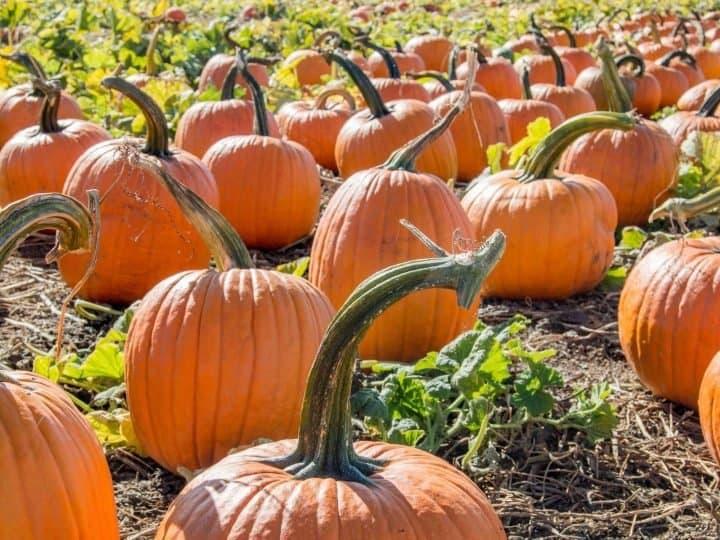 Pumpkin patches in Chicago
