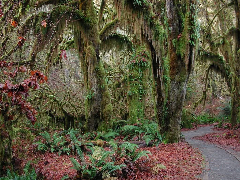 Hoh Rainforest in the autumn